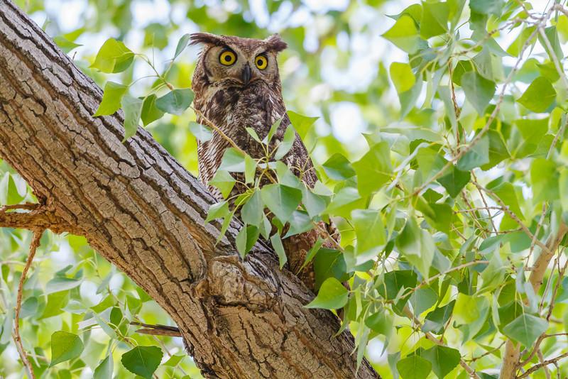 Great Horned Owl, Big Bend National Park (Texas)