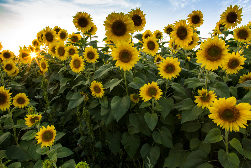 Field of Sunflowers_2038.jpg