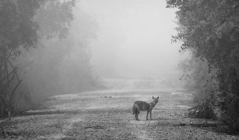 Jackal-misty-morning-bharatpur.jpg