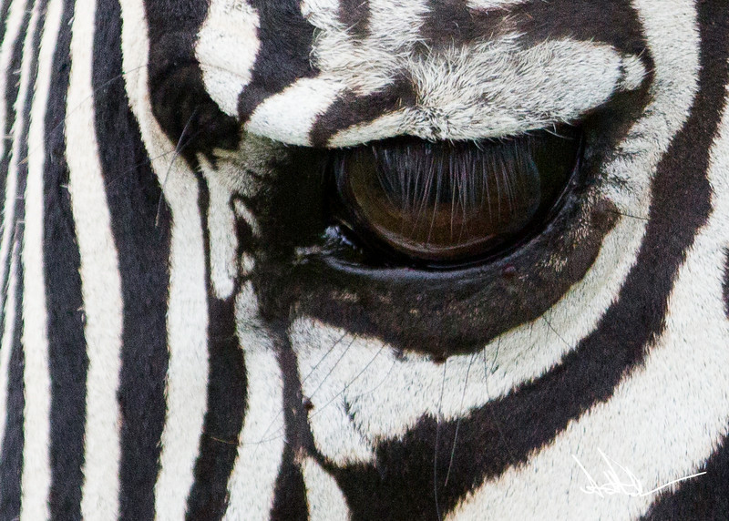 ZebraS-34.jpg