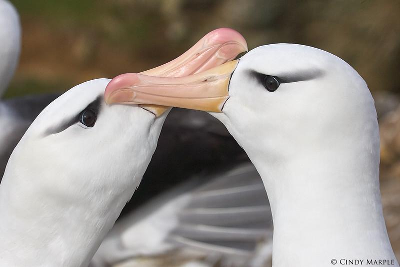Black-browed_Albatross_11.jpg