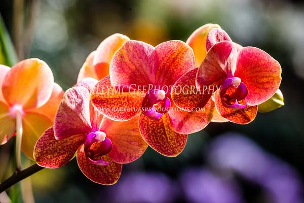 Longwood Gardens Orchid Display - 23 Feb 2014