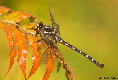 Dragonflies of New Zealand