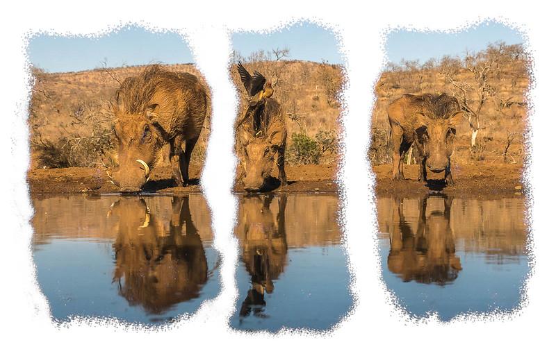 DSC_4147 Warthog Triptych triial.jpg