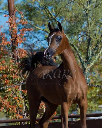 Esperanza Arabians
