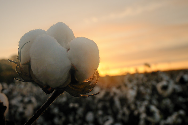 Cotton fields are the closest thing we get to a white Christmas.