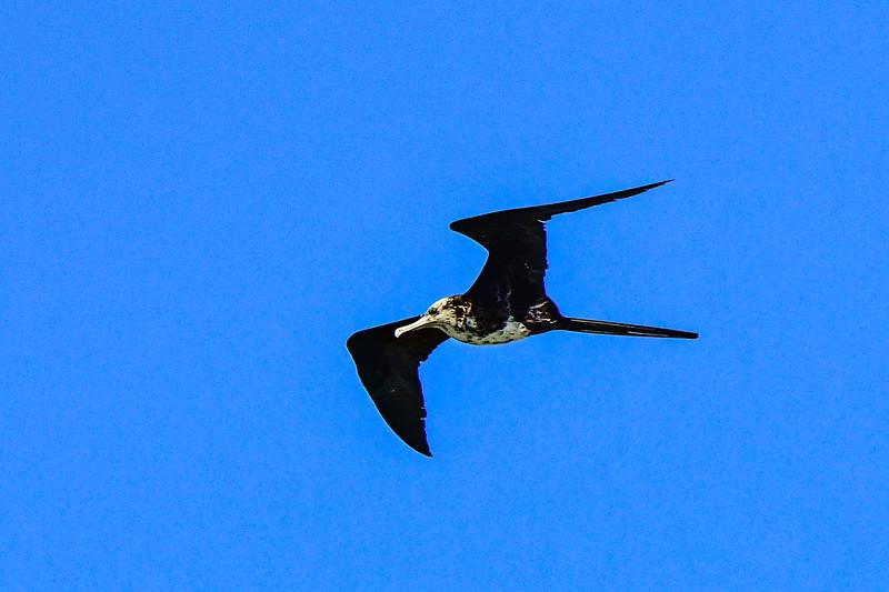 Magnificent Frigatebird - juvenile