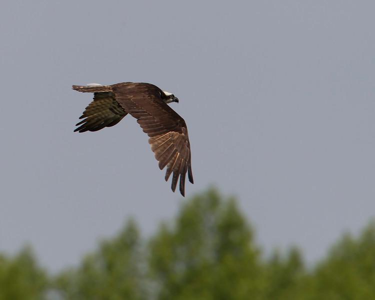ospreyinflight-1-2012.jpg