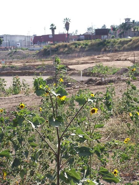 2005-06_LosAngelesStateHistoricPark-Sunflowers02.JPG