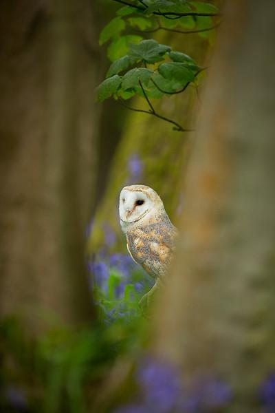 Barn owl bluebells 4.jpg