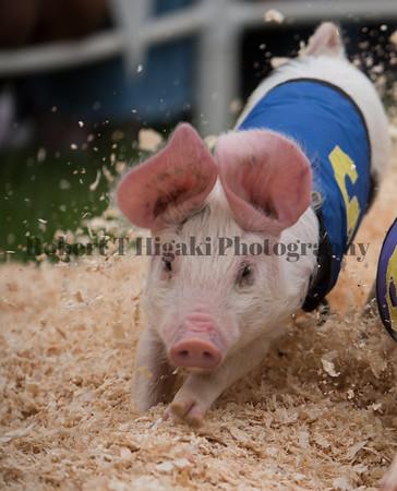 Alaskan Racing Pigs