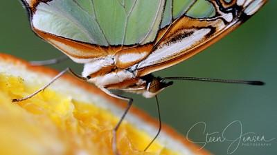 Lepidoptera; Butterfly; Sommerfugl;