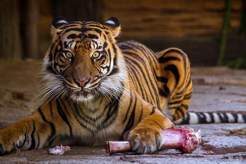 tiger 001.jpg