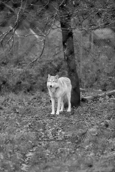 Woodget-131110-013--black and white, fence, sanctuary, wolf.jpg