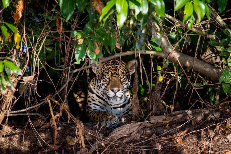 Jaguar (Panthera onca) Pantanal, Poconé, Brazil.