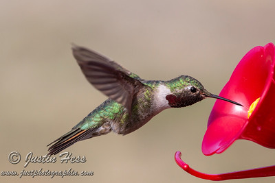 Hummingbirds 05-06-2019