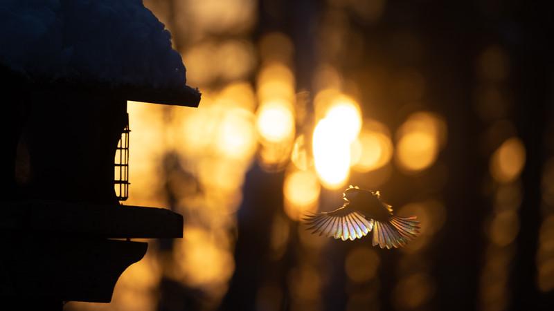 Black-capped Chickadee at feeder backlit backlighting Skogstjarna Carlton County MN  IMGC9957.jpg