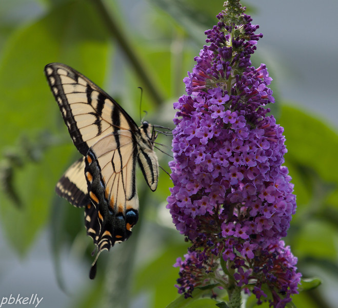 July 18.  My Butterfly Bush is in full bloom and starting to attract butterflies.  Still much more scarce than in prior years.