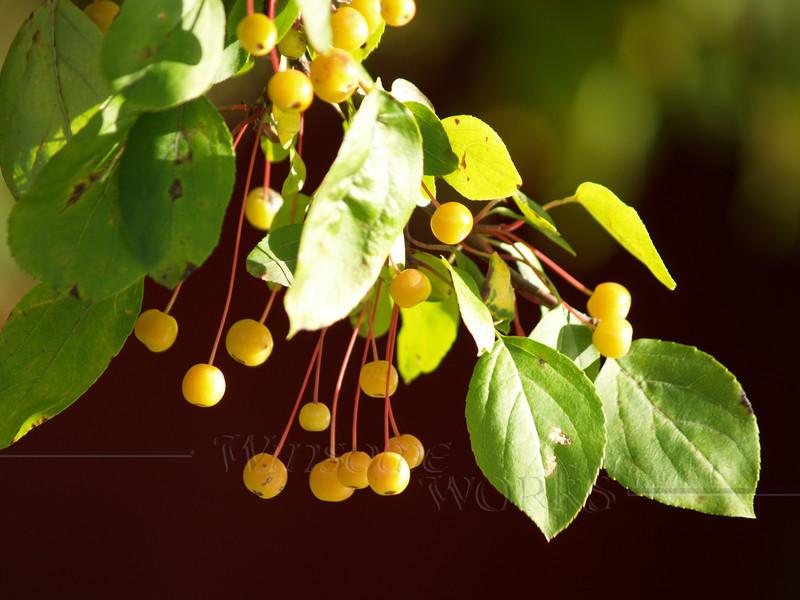 Yellow crabapples in fall, closeup