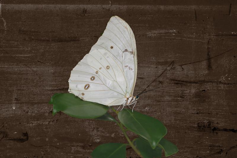 White Morpho-8788.jpg