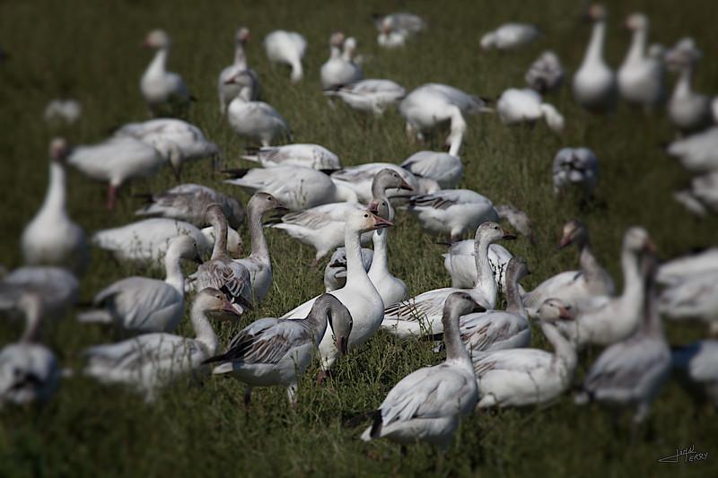 Snow Geese.jpg