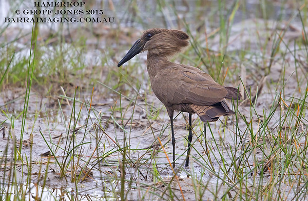 Hamerkop Family Scopidae