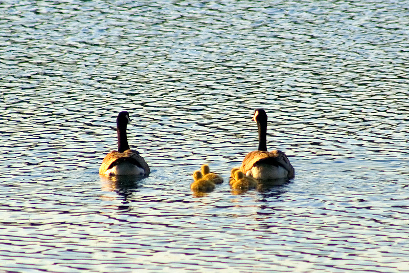 """""""Family outing"""" - Cly found the same family of geese and had some better camera equipment this time"""
