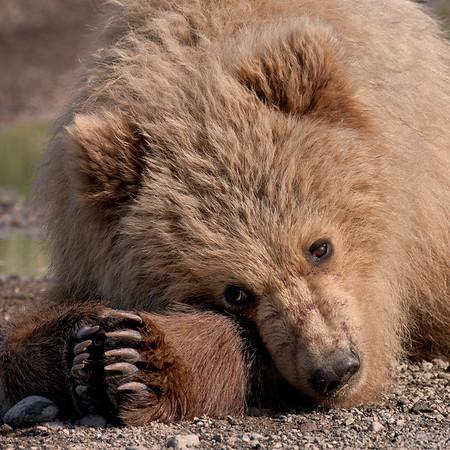 Wildlife - Brown Bears