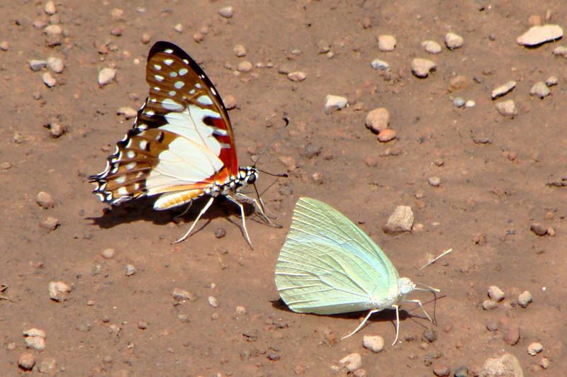 Graphium angolanus baronis (White Lady) 20 [left] with Catopsilia florella (African Emigrant) 36 [right].