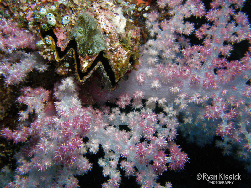 Clam and soft coral.jpg