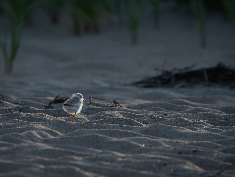 Piping Plover chick sunset