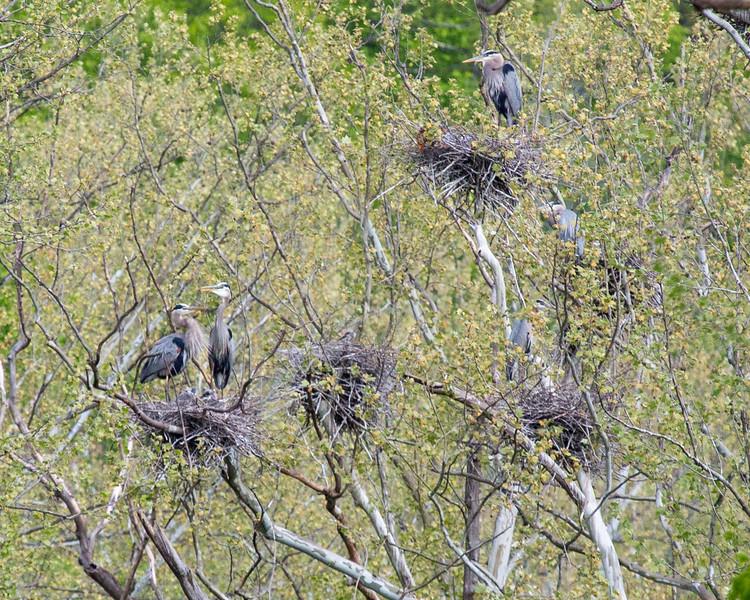 Great Blue Heron nest community
