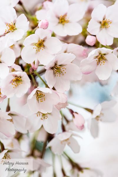 Cherry Blossoms-3.jpg