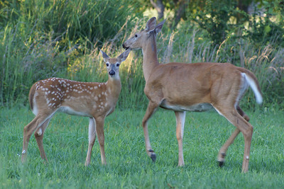 White Tail Deer - Summer 2007