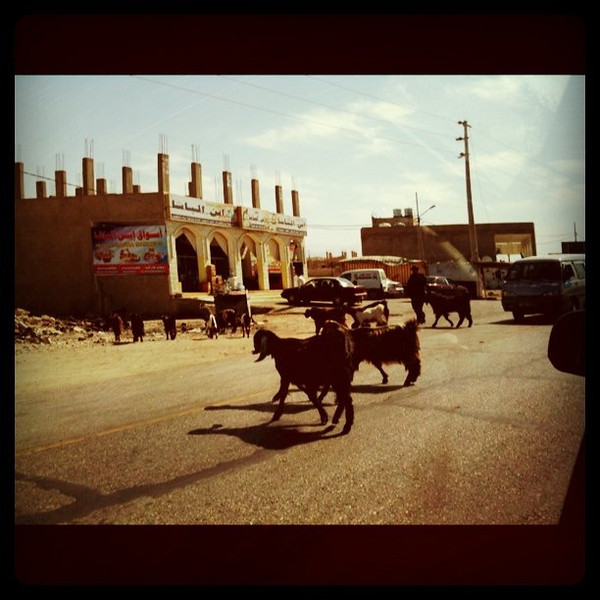 Goat crossing, Jordan highway