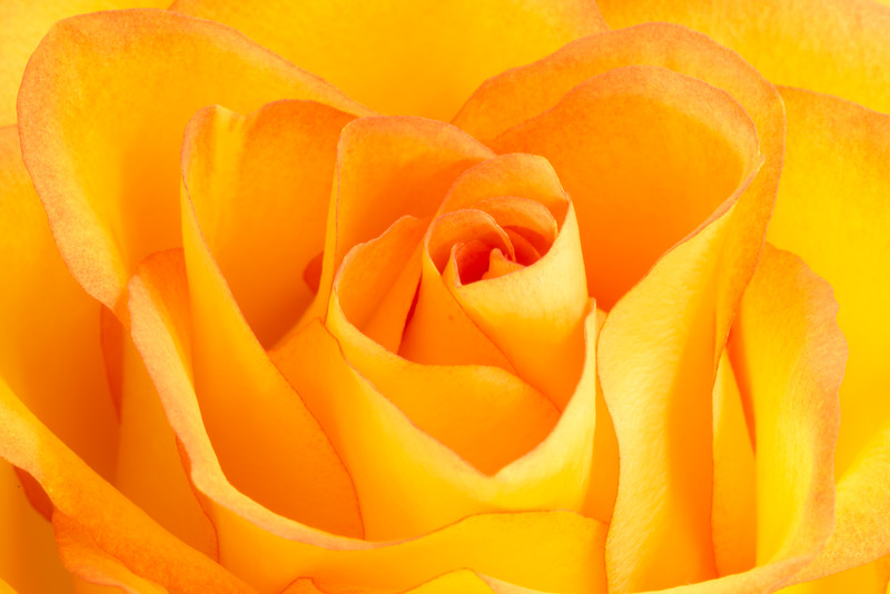 YellowRose200mmMacro.jpg