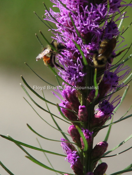 Havre Daily News/Floyd Brandt   Busy Bee collecting pollen turning it into honey as he collects the pollen he is also fertilizing the plants he is collecting from Sunday.