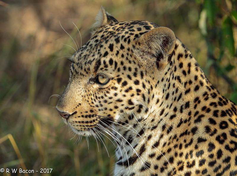 Leopard Portrait.jpg