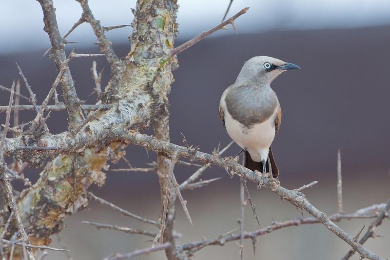 Fischer's Starling; August 27, 2012; Kampala Nature Reserve, Kenya