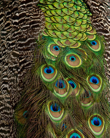 Peacock (disambiguation)