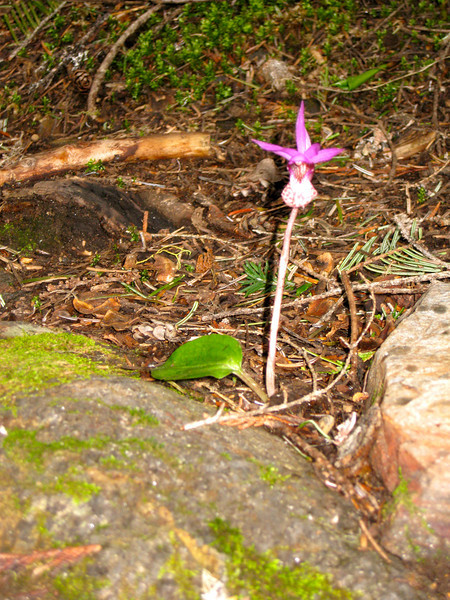 Fairy Slipper 'Calypso' Orchid. All by itself.