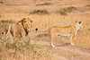 Male and female lion walking through the grass plains of Africa. Photography fine art photo prints print photos photograph photographs image images artwork.