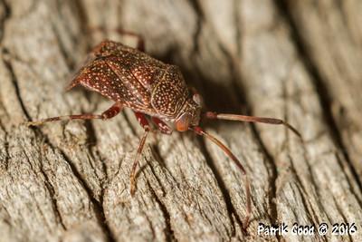 Dotted Mirid Bug