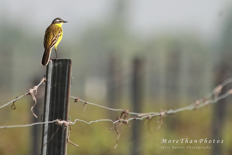 Vineyard posts are so useful 2013-05-03  This Western Yellow Wagtail chose this perch to sing from.  They breed in most of Europe.   Many thanks for the comments on yesterday's heron snack.  @Rob - special thanks - yes, sharpness is a problem on my shots, especially when using the telephoto+converter, which means manual focus and more jitter and smaller aperture.  I think this shot is sharper
