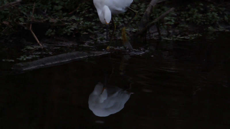Snowy Egret Fishing.mov