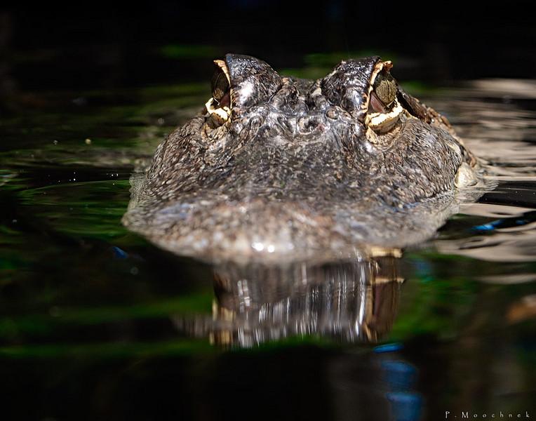Mr Gator