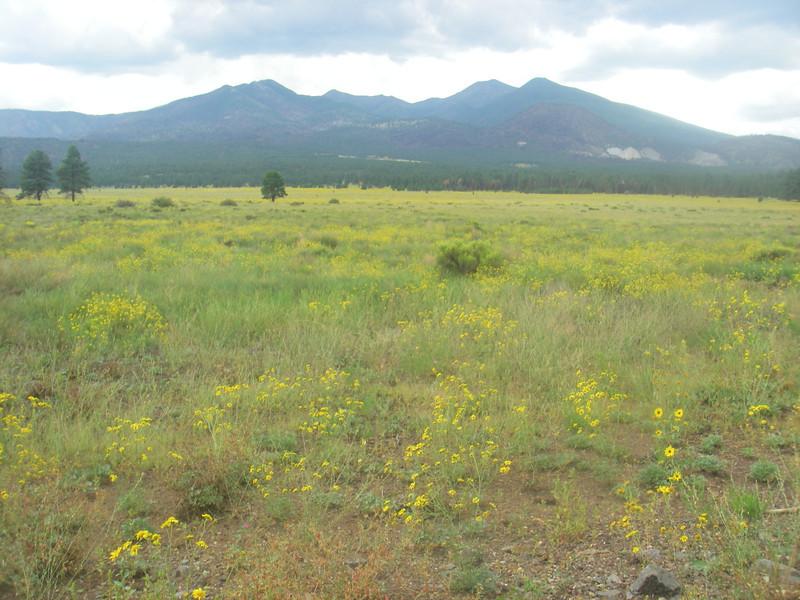 Flower field towards Flagstaff, AZ