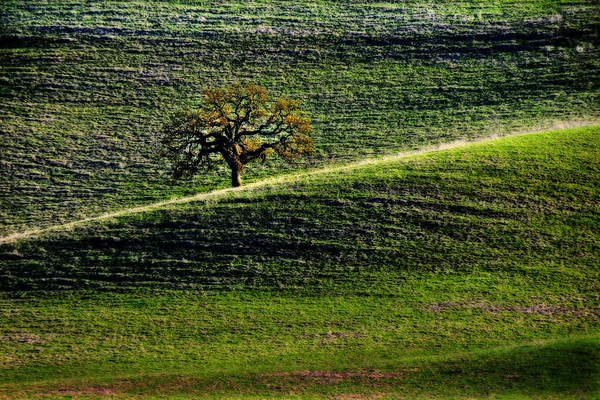 oak trees, green, hills