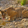Tiger drinking water in a water hole in Ranthambhore
