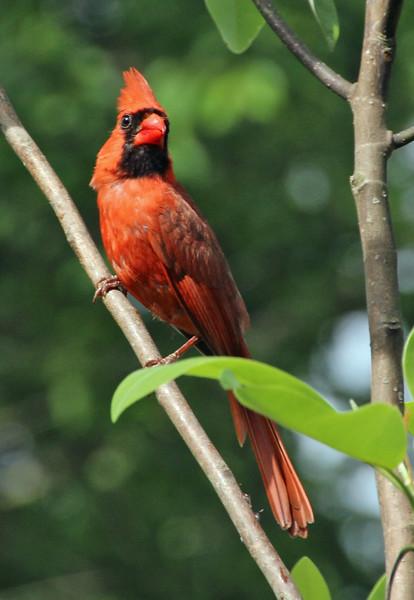 cardinal with attitude p.jpg